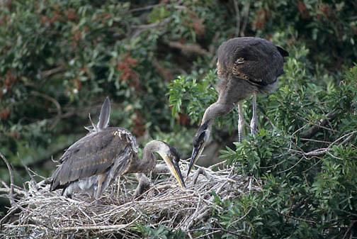 Great Blue Heron, (Ardea herodias) Breeding pair creating nest at rookery. Florida.