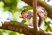 Squirrels are seen Interacting with people on a tree branch in St James' Park in central London on Monday, June 22, 2020. (Photo/ Vudi Xhymshiti)