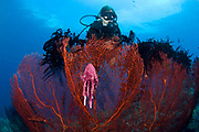 A red sea fan (Melthaea sp.) with sponge colored clam attached and diver in background, Kimbe Bay, Papua New Guinea