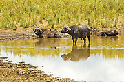 African Buffalo AKA Cape Buffalo (Syncerus caffer) in waterpool, Serengeti National Park, Tanzania