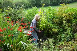 Carol Klein placing pot of Patrinia scabiosifolia and Agastache foeniculum 'Golden Jubilee' in the garden