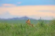 Swift foxes (Vulpes velox) in prairie habitat