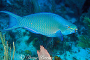 queen parrotfish, <br /> Scarus vetula, supermale or terminal male phase<br /> Grand Cayman Island ( Caribbean Sea )