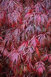 Acer palmatum 'Crimson Queen' AGM - Dissectum group - Japanese maple