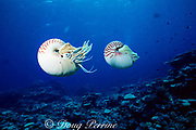 chambered nautilus, Nautilus pompilius, trapped in deep water for research project and photographed on reef before tag and release back to deep water, Hick's reef, Ribbon Reefs, Great Barrier Reef, Australia