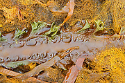 Seaweed on the shoreline of the Gulf of St. Lawrence<br />Mingan Archipelago National Park Reserve<br />Quebec<br />Canada