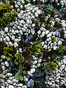 Mussels and rockweed, Pacific Coast, Olympic National Park, Washington, USA