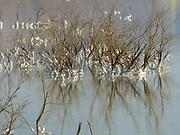 Israel, Dead Sea, salt crystalizing on plants caused by water evaporation