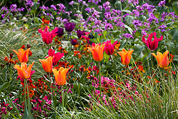 Tulipa 'Ballerina' and 'Doll's Minuet' with wallflowers and honesty in the cutting garden