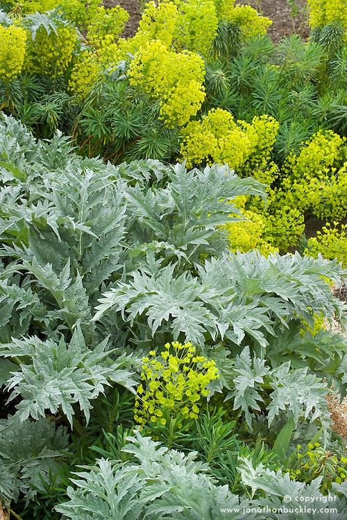 Artichokes growing with Euphorbia characias 'John Tomlinson'