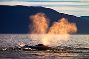 USA, Alaska, Chatham Strait, Humpback whale (Megaptera novaeangliae) blow