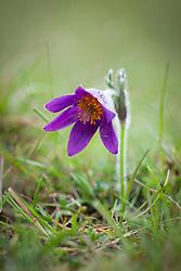 Pasque Flower growing wild in grass at Barnsley Warren, Gloucestershire. Pulsatilla vulgaris