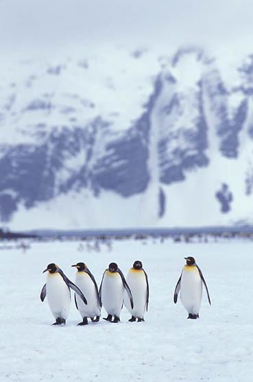 King Penguin, (Aptenodytes p.patagonica) At Salisbury Plain on South Georgia Island.