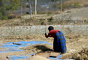 A woman threshes the rice harvest using a forked stick. Paro, Druk Yul, Bhutan. 12 November 2007