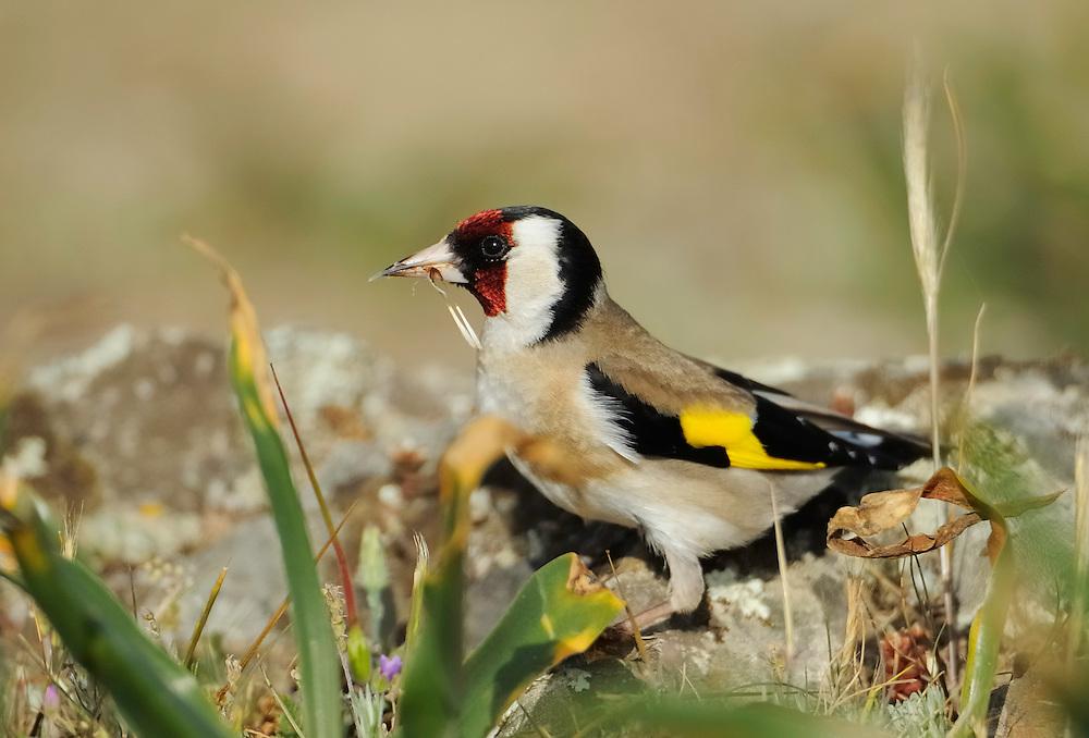 Goldfinch, Carduelis carduelis, La Serena, Extremadura, Spain