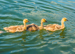 Three baby gosling swim along in a row on the water