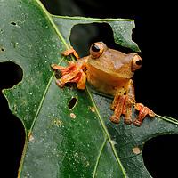 Harlequin Tree Frog (Rhacophorus pardalis). Sabah, Malaysia (Borneo).