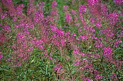 Fireweed (Epilobium angustifolium), Mt. St. Helens National Volcanic Monument, Washington, US