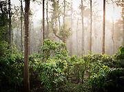 A coffee plantation in Wayanad, Kerala, India
