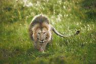 Lion ready to pounce, Maasai Mara, Kenya.