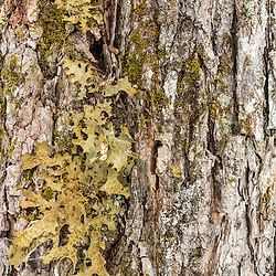 A lichen, Lobaria pulmonaria, on an old sugar maple tree, Acer saccharum. This lichen is an indicator for late successional hardwood forest. The tree has been tapped as part of a maple syrup operation in Big Six Township, Maine.