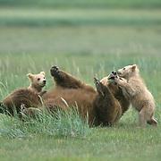Alaska brown bear (Ursus middendorffi) mother and two young cubs. Alaska Peninsula, Alaska