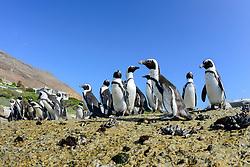 Spheniscus demersus, Brillenpinguine, Kolonie von Pinguine,  African penguin or Jackass penguin or black-footed penguin, Colony of penguins, Suedafrica, Simons Town, False Bay, Boulders Beach, South Africa