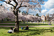 """Cherry trees flower in early April in Seattle, Washington, USA. On left is Raite Hall, with the Art Building (built 1949) on the right. The Yoshino cherry trees on """"the Quad"""" (Liberal Arts Quadrangle) of the University of Washington were a senior gift from the class of 1959. The trees were rescued from a construction site for the Evergreen Point Floating Bridge and moved to campus in 1964."""