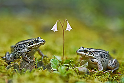 Wood frogs and twinflower (Linnea borealis) in Southern Yukon