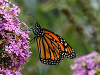 Monarch butterfly at North Meadow in Central Park