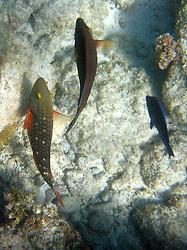 Three fish swim in the waters off the coast of Aruba.