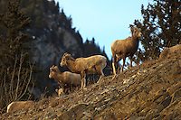 "When you're driving through the Rocky Mountains, and you see a big yellow sign that says ""Rocky Mountain Bighorn Sheep Next 2km"", you really have to slow down and look around.  Because they really are there. And there might even be lots of them.  I found over 40 of them today and managed to make lots of images!..©2010, Sean Phillips.http://www.Sean-Phillips.com"