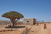 Dragon Blood Tree at Dixsam village, Dixsam region, Socotra, Yemen