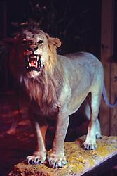 Male Lion Taxidermy