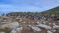 Southern Rockhopper Penguin (Eudyptes chrysocome). Image taken with a Leica T camera and 18-56 mm lens.