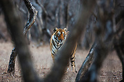 An obscured view of a standing Bengal tigress in the forest  (Panthera tigris tigris), Ranthambhore National Park, Rajasthan, India,