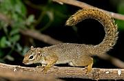 Gambian Sun Squirrel, Heliosciurus gambianus.  Lake Natron, northern Tanzania.