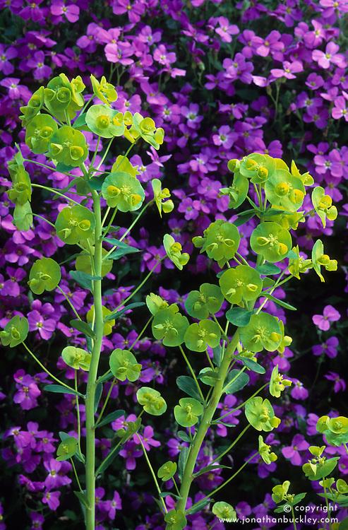 Euphorbia amygdaloides var robbiae in front of aubretia. Spurge, Milkweed