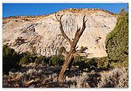 A dead Bristlecone Pine tree along the Burr Trail in the Grand Staircase Escalante region of southern Utah