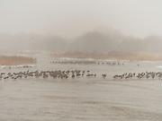 Sandhill cranes rest on the Platte River, near Kearney, Nebraska, on their annual northward migration.