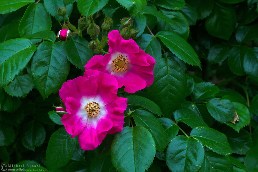 "Rambler Rose ""American Pillar"" flowers"