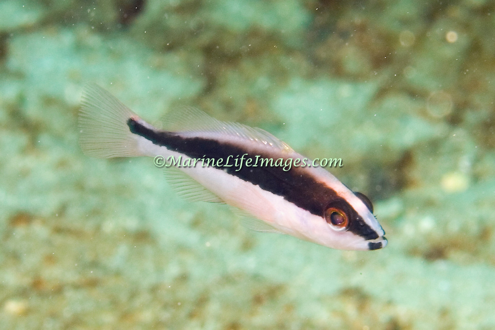 Yellowfin Grouper, juvenile, inhabit reefs in Tropical West Atlantic; picture taken Dominica.