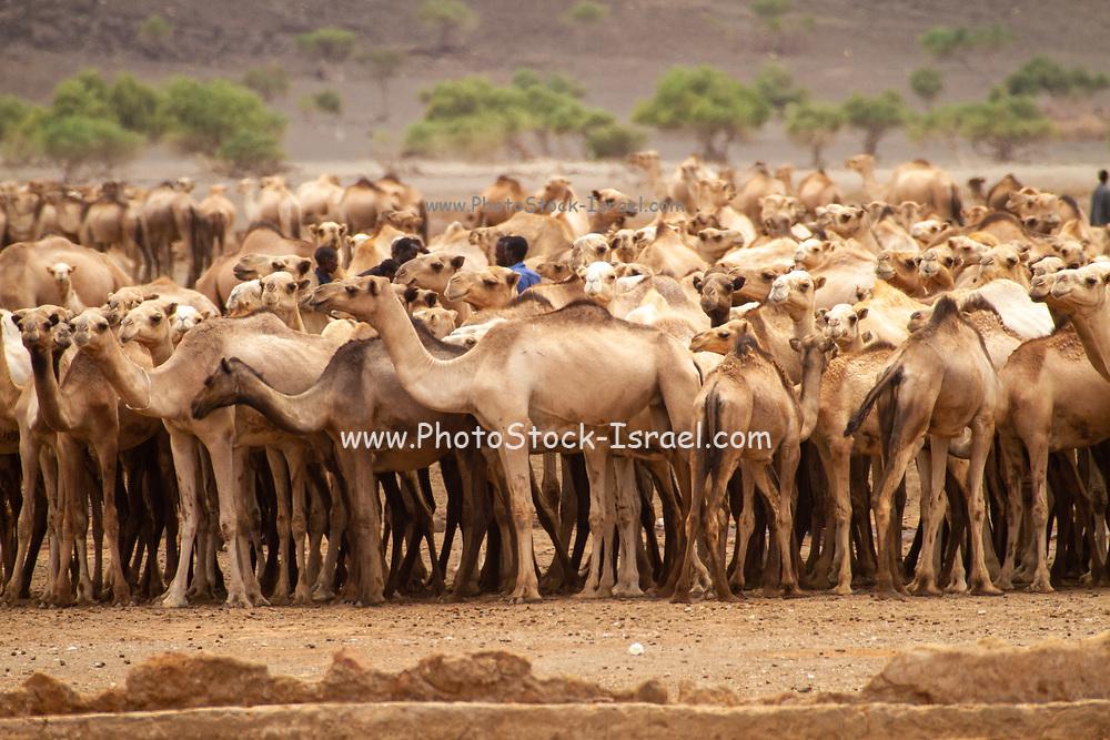A herd of Dromedary or Arabian Camels (Camelus dromedarius) walking in the desert. Photographed in the Negev Desert, Israel