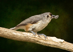 A Juvenile Tufted Titmouse With A Large Seed