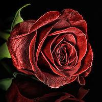 A single rose on black plexi glass.