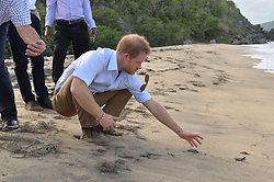 Prince Harry releases baby turtles into the sea on Lover's Beach on the island of Nevis during the second leg of his Caribbean tour, as he learns about the conservation efforts to protect the endangered species.