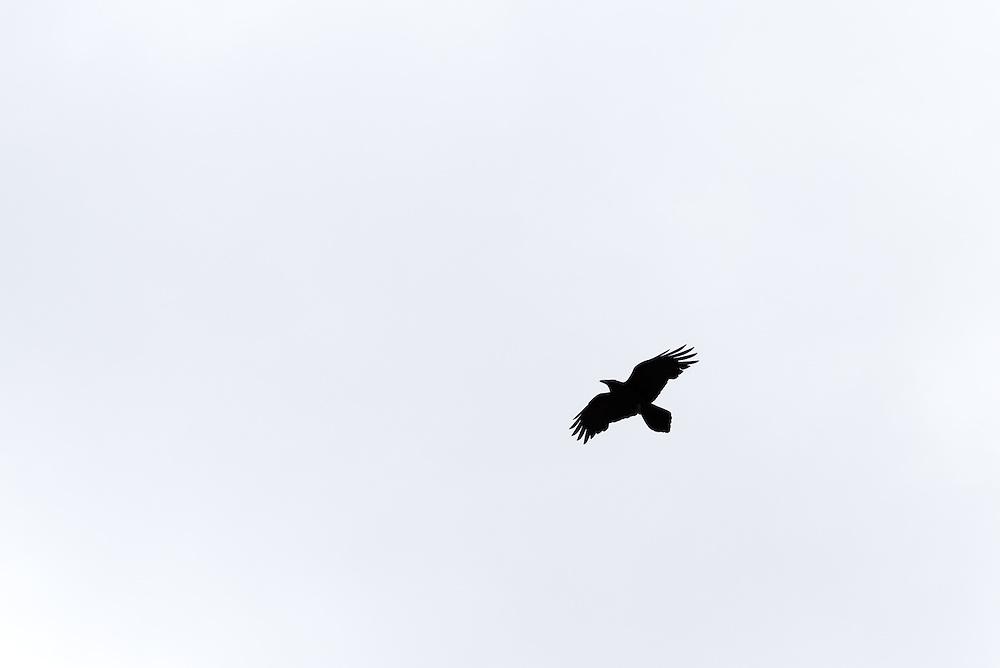 Raven flying over the desert of Southern Utah.