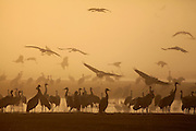 Common crane (Grus grus) Silhouetted at dawn. Large migratory crane species that lives in wet meadows and marshland. It has a wingspan of between 2 and 2.5 metres. It spends the summer in northeastern Europe and western Asia, and overwinters in north Africa. It feeds on vegetation, insects, frogs and snakes. Photographed in the Hula Valley, Israel, in December
