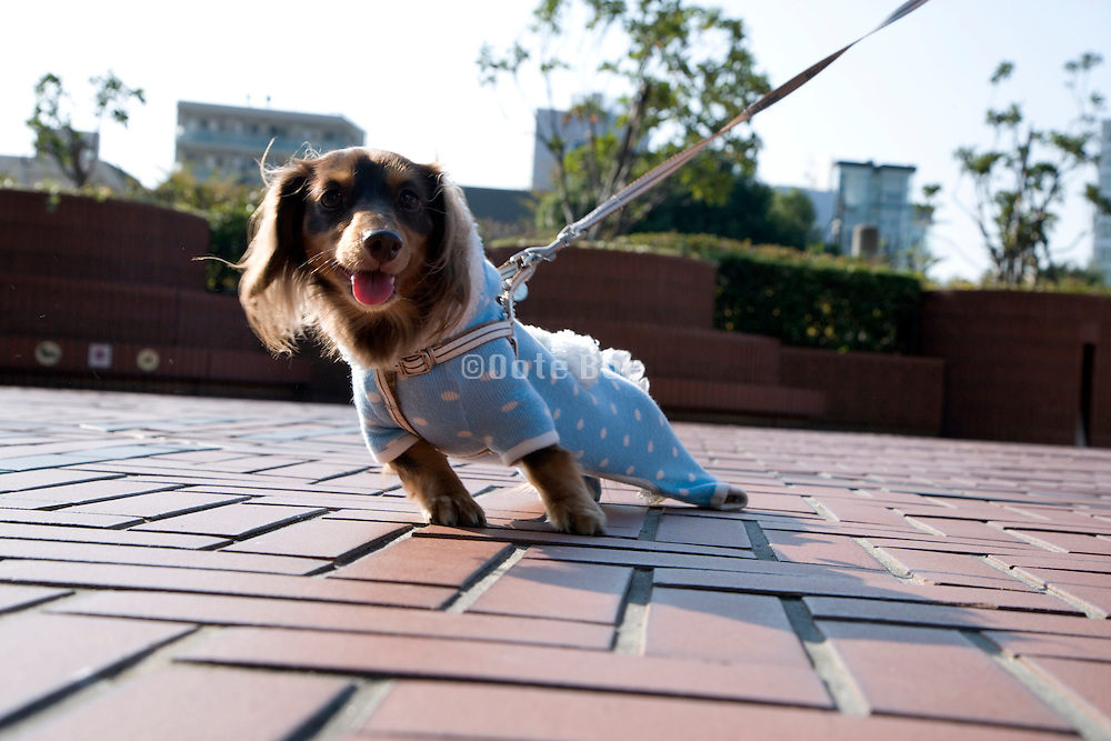 little dressed up dog on a leash