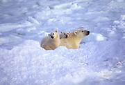 Canada. Churchill, Manitoba. Polar bear (Ursus maritimus) sow with cubs.